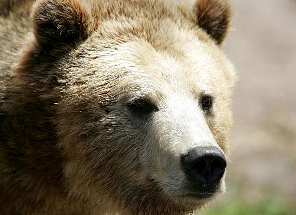 Grizzly bear, an endangered animal species