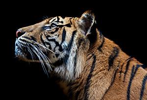 tiger_tsm